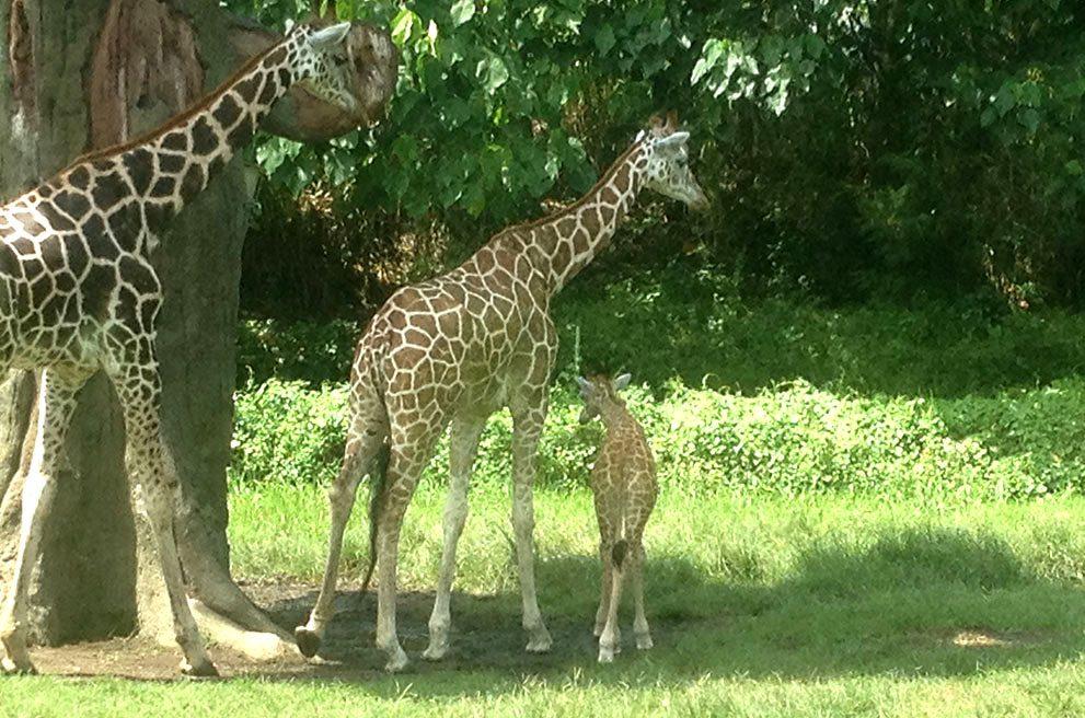 Bali's First Baby Giraffe